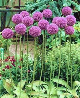 Totally Free Allium Flower Bulbs Worldwide