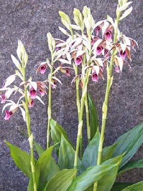 Totally Free Ground Orchid Flower Bulbs
